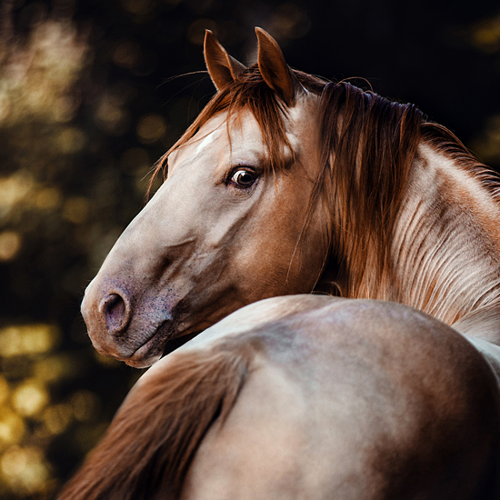 main-rugged-in-gold-american-quarter-horse